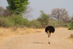 Mannelijke struisvogel Stock Afbeeldingen