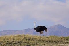 Mannelijke Struisvogel Stock Foto
