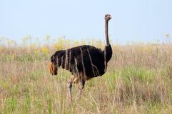 Mannelijke Struisvogel. Stock Foto