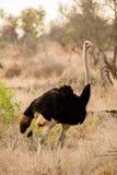 Mannelijke Struisvogel Royalty-vrije Stock Afbeelding