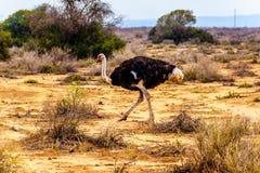 Mannelijke Struisvogel bij een Struisvogellandbouwbedrijf in Oudtshoorn in de Westelijke Kaapprovincie van Zuid-Afrika Stock Fotografie
