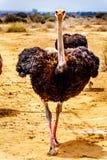 Mannelijke Struisvogel bij een Struisvogellandbouwbedrijf in Oudtshoorn in de Westelijke Kaapprovincie van Zuid-Afrika Stock Afbeelding