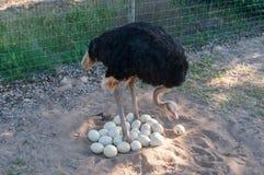 Mannelijke struisvogel die bij de eieren in het nest aansluiten zich Royalty-vrije Stock Afbeeldingen