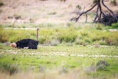 Mannelijke Struisvogel die een stofbad hebben Royalty-vrije Stock Afbeelding