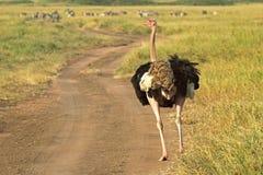 Mannelijke struisvogel die onderaan een straat lopen Royalty-vrije Stock Afbeeldingen