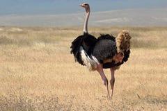 Mannelijke struisvogel die rond eruit zien Royalty-vrije Stock Foto's