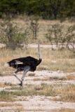 Mannelijke Struisvogel die Savanne in het Nationale Park van Etosha, Namibië doornemen Stock Foto