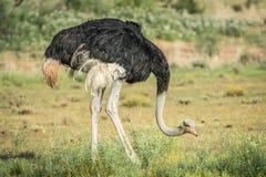 Mannelijke Struisvogel die zich in het gras bevinden Royalty-vrije Stock Fotografie