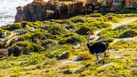 Mannelijke Struisvogel in het Natuurreservaat van het Kaappunt Stock Afbeeldingen