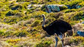 Mannelijke Struisvogel in het Natuurreservaat van het Kaappunt Stock Foto