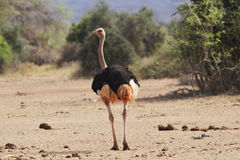 Mannelijke Struisvogel in hitte Royalty-vrije Stock Foto