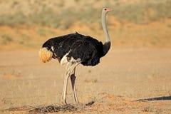 Mannelijke struisvogel in natuurlijke habitat Stock Afbeelding