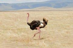 Mannelijke struisvogel in Ngorongoro Stock Afbeeldingen