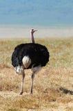 Mannelijke struisvogel in savanne Stock Foto