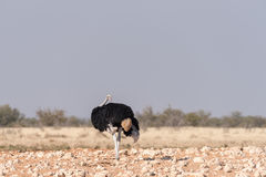 Mannelijke Struisvogel, Struthio-camelus, die terug eruit zien Royalty-vrije Stock Foto