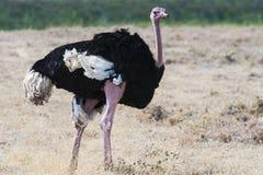 Mannelijke struisvogel (struthiocamelus) Royalty-vrije Stock Afbeeldingen