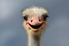 Mannelijke struisvogel (struthiocamelus) Royalty-vrije Stock Fotografie
