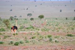 Mannelijke struisvogel in Tsavo-het Oosten Royalty-vrije Stock Afbeelding