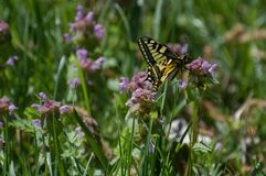 Mannelijke swallowtail Papilio die machaon naar nectar zoeken stock foto's