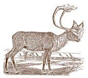 Mannelijke tarandusgroenlandicus van de onvruchtbaar-grondkariboe rangifer in zijaanzicht, die zich in een landschap bevinden stock illustratie