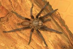Mannelijke tarantula van de soort Chilobrachys Visakhapatnam stock fotografie