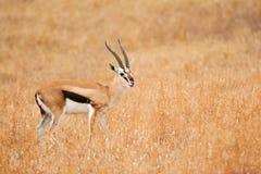 Mannelijke thomsonii van de gazelleeudorcas van Thomson ` s royalty-vrije stock foto's