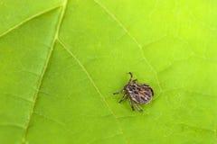 Mannelijke Tick Meadow Dermacentor-reticulatus royalty-vrije stock afbeelding