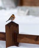 Mannelijke vink op de winter en een koude achtergrond Stock Afbeeldingen