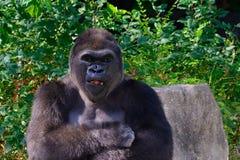 Mannelijke Westelijke het Laaglandgorilla van Silverback Stock Afbeeldingen