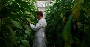 Mannelijke wetenschapper die aubergine in serre 4k onderzoeken stock videobeelden