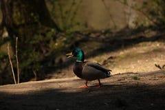Mannelijke Wilde eend Duck Chatting royalty-vrije stock foto