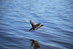Mannelijke wilde eendeend die vlucht over blauw water neemt Stock Afbeeldingen
