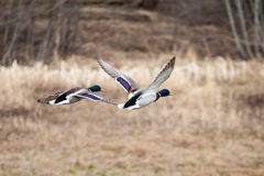 Mannelijke Wilde eenden tijdens de vlucht Stock Fotografie