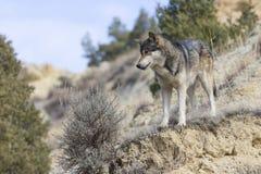 Mannelijke wolf die onderaan ravijn kijken Stock Afbeeldingen