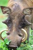 Mannelijke wrattenzwijnen die op savanne, Ghana weiden Stock Foto's