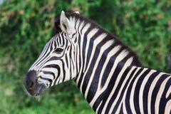 Mannelijke Zebra Royalty-vrije Stock Afbeeldingen