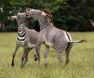 Mannelijke Zebra stock fotografie