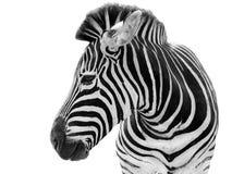 Mannelijke geïsoleerdeh zebra Stock Afbeelding
