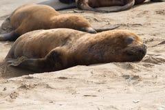Mannelijke zeeleeuw die op het zandstrand van de Atlantische Oceaan ligt Stock Afbeeldingen