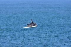 Mannelijke Zuidelijke Juiste Walvis die van Overzees, Zuid-Afrika springen royalty-vrije stock foto