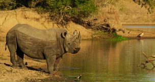 Mannelijke Zwarte Rinoceros bij water Royalty-vrije Stock Afbeeldingen