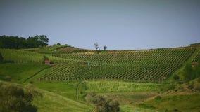 Mannen är den rinnande vingården på en kulle i Kroatien sköt länge stock video