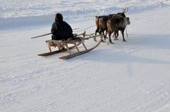 Mannen åka släde med deers i det snöig fältspåret Royaltyfri Bild