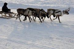Mannen åka släde med deers i det snöig fältspåret Royaltyfria Bilder