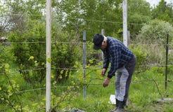 Mannen binder upp druvorna Royaltyfria Foton
