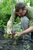 Mannen binder upp tomaterna Royaltyfria Bilder