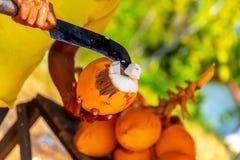 Mannen bryter den unga kokosnöten arkivfoto