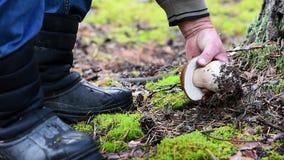 Mannen i kängor klipper av den stora vita champinjonen i skogen stock video