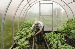 Mannen i växthus korrigerar aubergineplantor Arkivfoto