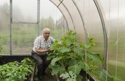 Mannen i växthuset nära gurkaplantorna Royaltyfri Fotografi